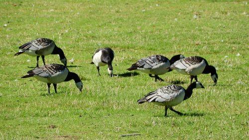 canada goose branta leucopsis goose