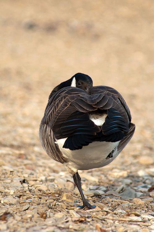 canada goose branta canadensis birds