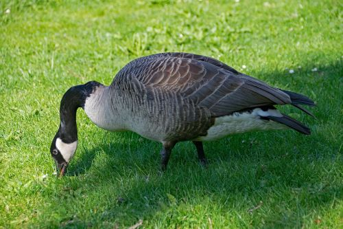 canada goose goose branta