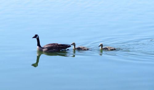 canada goose canada geese goslings