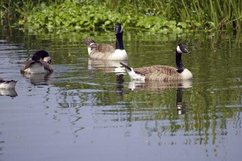 Kanados žąsis,paukščiai,plaukiojanti upė,nacionalinė pasitikėjimo upė,woking