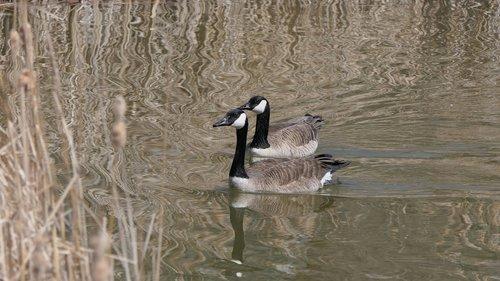 canada goose  waterfowl  lake