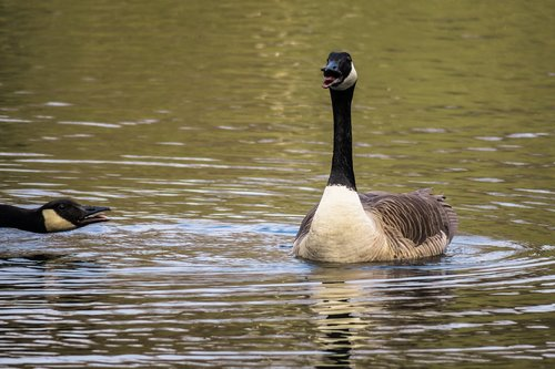 canada goose  excited  chatter