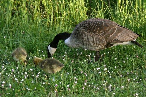 canada goose  goose  wild goose