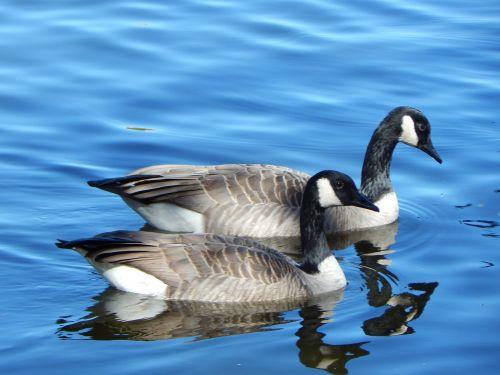 canada goose geese canada