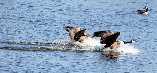 canada goose geese birds
