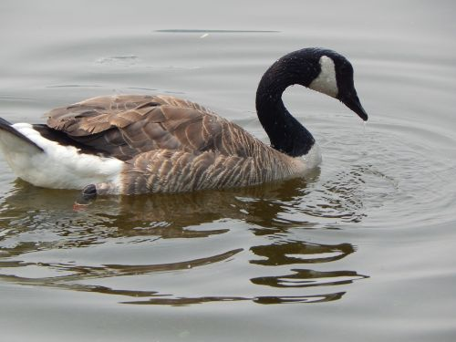 canada goose waterfowl nature
