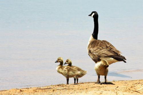 gamta, laukinė gamta, gyvūnai, paukščiai, žąsis, žąsys, goslings, Kanada & nbsp, žąsis, Kanada & nbsp, žąsys, geltona, fuzzy, kūdikių & nbsp, žąsys, stovintis, Krantas, smėlio, papludimys, ežeras, vanduo, mėlynas & nbsp, vanduo, Kanados žąsis ir gosling paplūdimyje