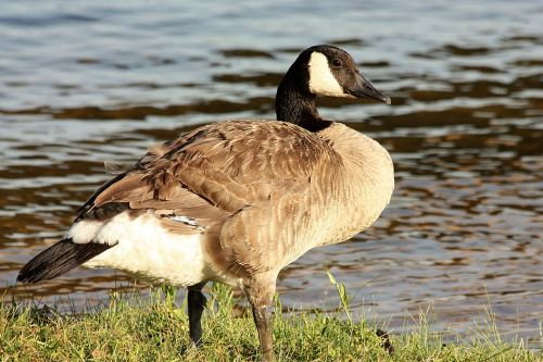 canada goose animal friendly