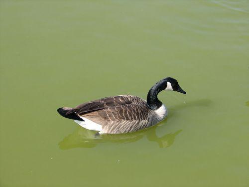 Canada Goose Profile