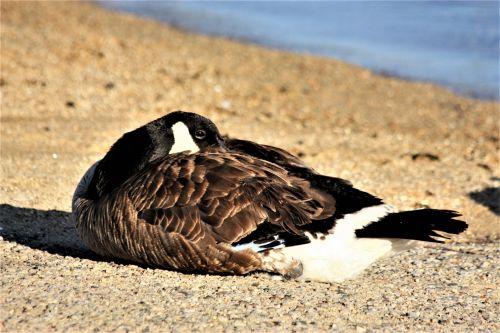 Canada Goose Resting