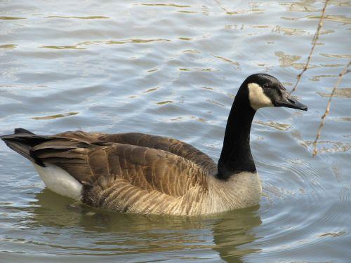 canada goose swimming goose canadian goose
