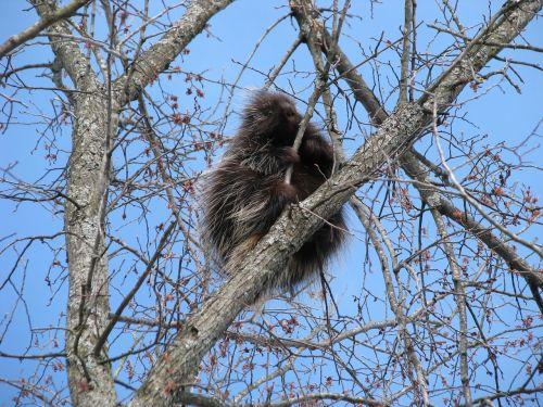 canada porcupine north american porcupine erethizon dorsatum