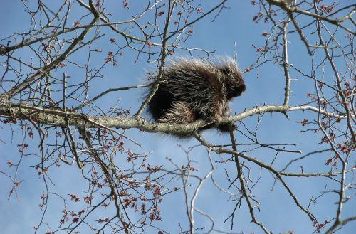 canada porcupine north american porcupine common porcupine