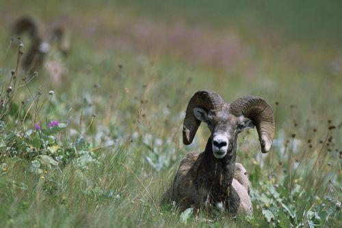canadensis ovis sheep