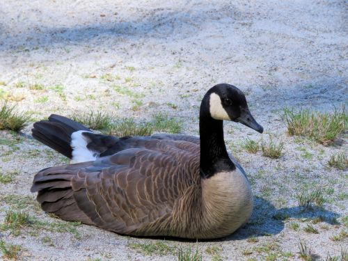 Canadian Duck 2