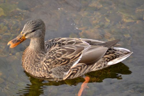 Canadian Duck
