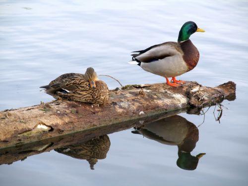 Canadian Ducks