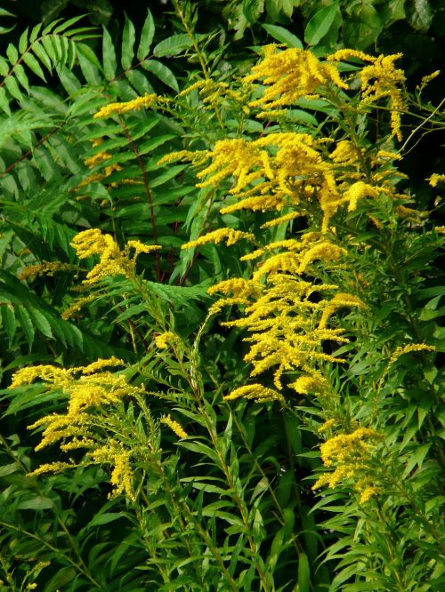 canadian goldenrod golden rod bush