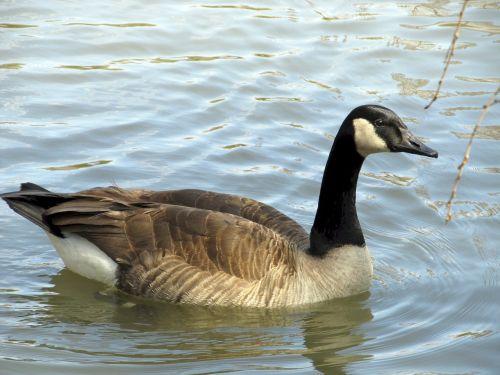 canadian goose swimming lake