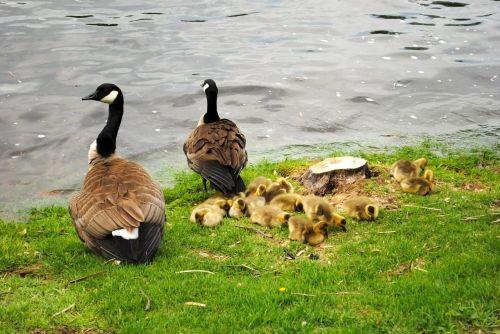 canadian goose goose canadian