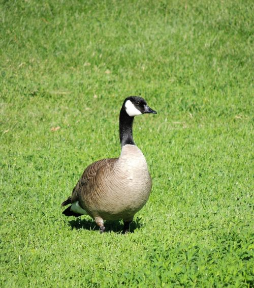 canadian snow goose goose grass