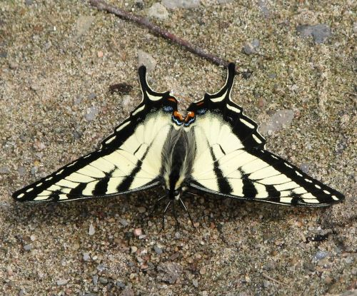 canadian tiger swallowtail papilio canadensis butterfly
