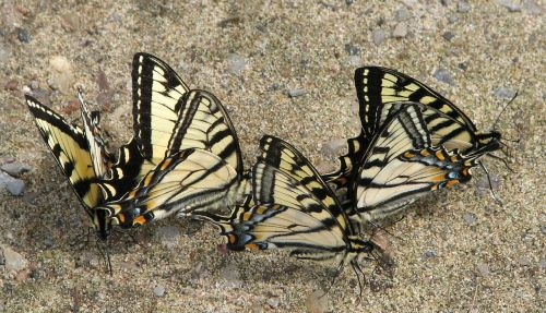 canadian tiger swallowtail papilio canadensis mud puddle club