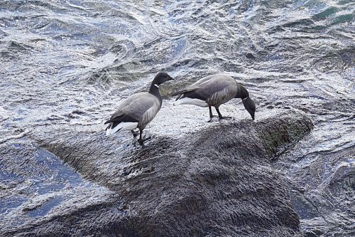 Ducks At The Water's Edge