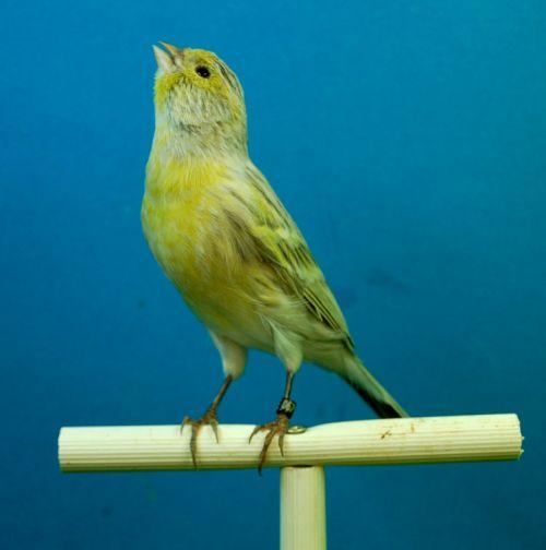 canaries black opal aviary