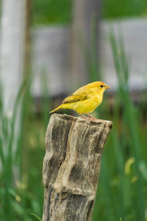 canary paige nature