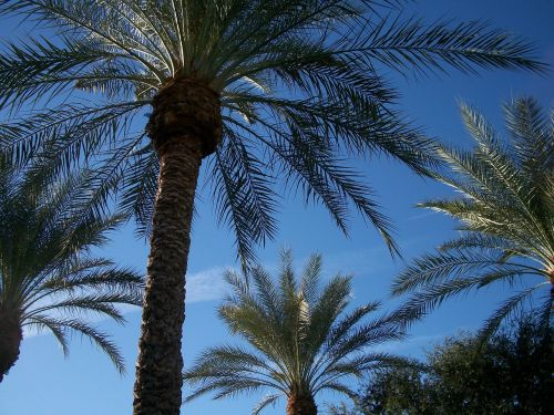canary island date palm palm tree scottsdale