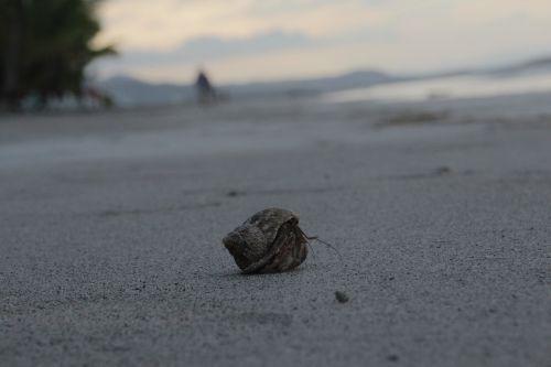 cancer hermit crab sea