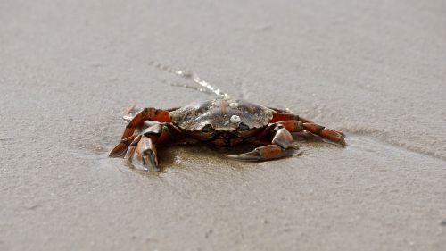 cancer crab shellfish