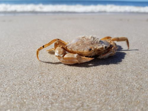 cancer animal crab
