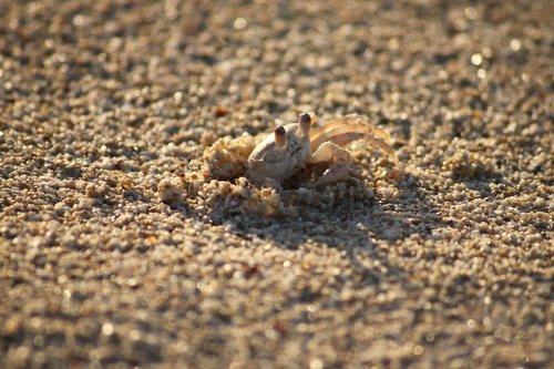 cancer  beach  crab