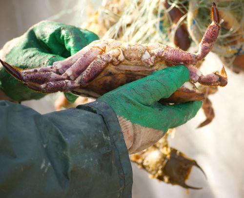 cancer lobster animal