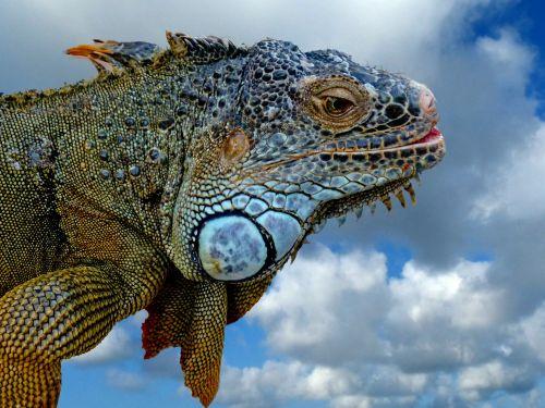 Cancun Iguana