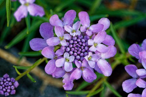 candytuft doldige loop flower iberis umbellata