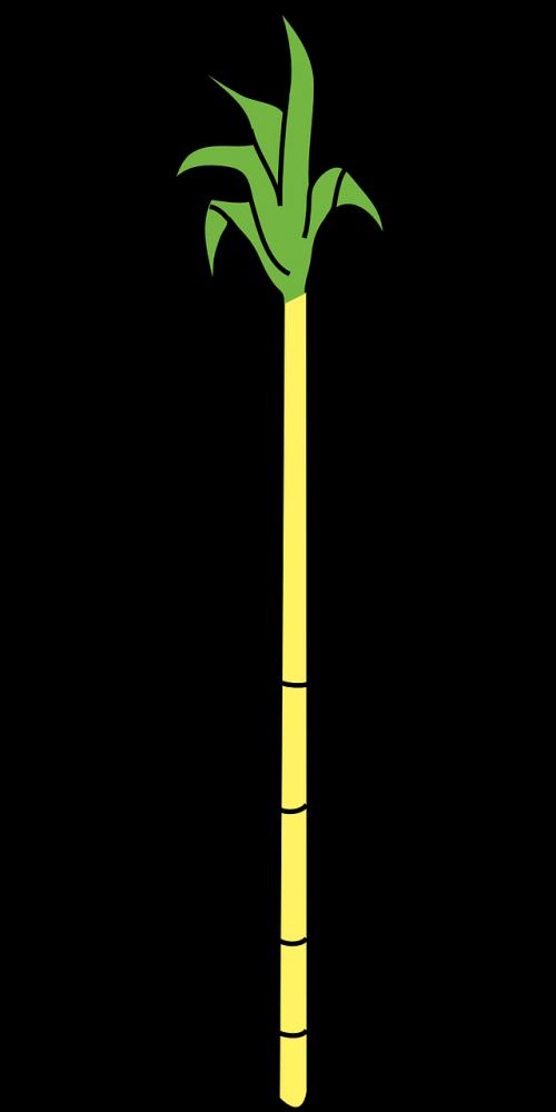 cane sugar sugar cane