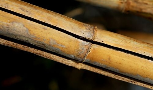 cane nature stems cylindrical