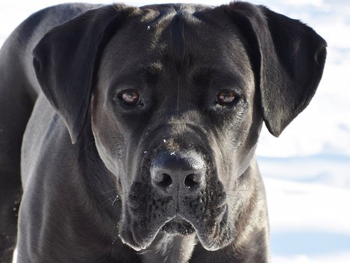 cane corso  dog  puppy