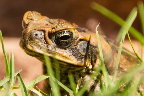 cane toad toad bufo marinus