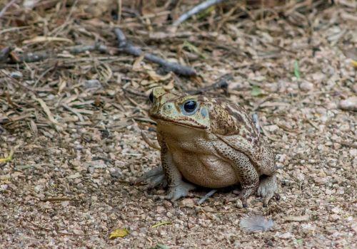 cane toad amphibian animal