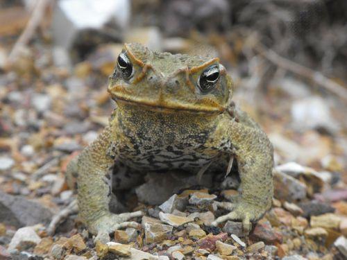 cane toad wildlife australia toad