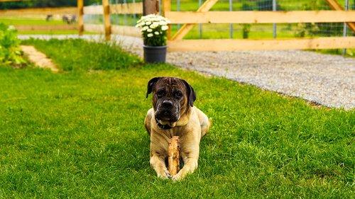 canecorso  big dog  great dane