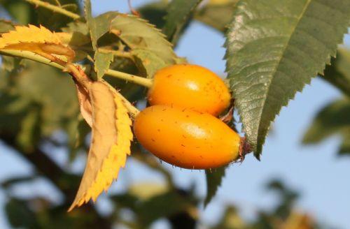 canina fruits healthy