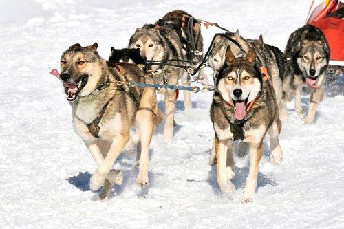 canine  hitch  musher