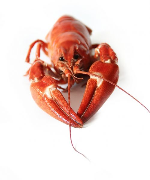 canker crayfish party red