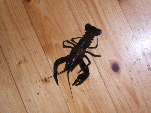 canker signal crayfish hardwood floors